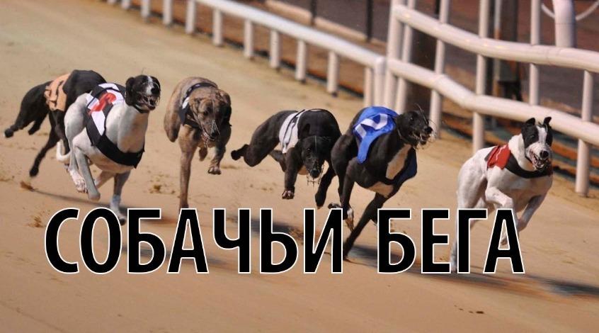 Ставки на собачьи бега: что нужно знать о собаках и забегах?